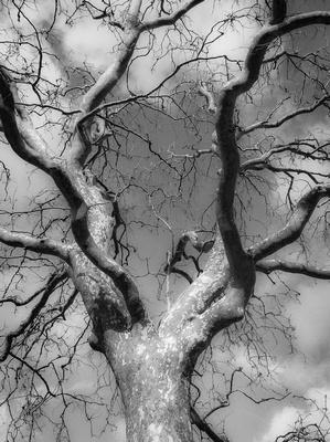 A Lone Sycamore Tree